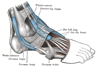 Lateral tendons foot From Wikipaedia.com