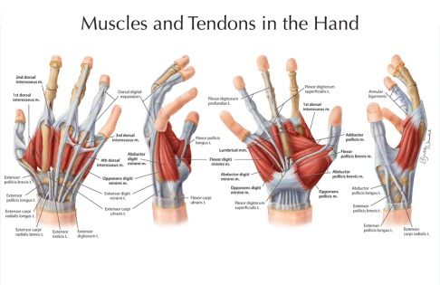 Muscles & tendons of the hand