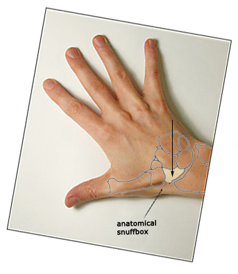 Surface anatomy - Scaphoid(2)