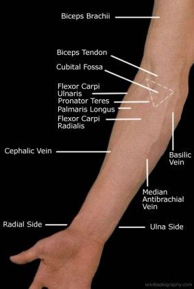 Surface anatomy anterior